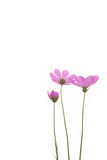 Frische purpurrote Gänseblümchenblume Lizenzfreie Stockbilder