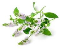 Frische purpurrote Pfefferminzblumen lokalisiert auf Weiß lizenzfreie stockbilder