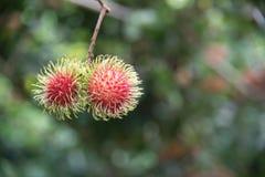 Frische Rambutanfrucht auf dem Baum im Garten, kamphaengphet Stockbild