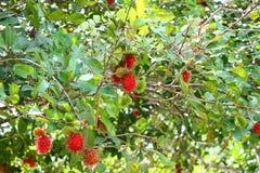 Frische Rambutans auf Bäumen stockbilder