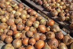 Frische reife gelbe Zwiebel werden auf rauer verwitterter Holzoberfläche getrocknet Natürlicher organischer Hintergrund Ländliche stockfotos