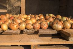 Frische reife gelbe Zwiebel werden auf rauer verwitterter Holzoberfläche getrocknet Natürlicher organischer Hintergrund Ländliche lizenzfreie stockfotos