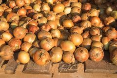 Frische reife gelbe Zwiebel werden auf rauer verwitterter Holzoberfläche getrocknet Natürlicher organischer Hintergrund Ländliche stockbild