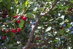Frische reife Kirschen auf Niederlassungen im Garten Lizenzfreie Stockfotos