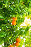Frische reife Orangen Lizenzfreies Stockbild