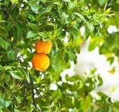 Frische reife Orangen auf einem Baum Stockbilder