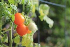 Frische reife organische Tomaten Stockfotos