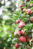 Frische reife rote Äpfel auf einer Niederlassung im Garten Gartenarbeit, organisch, Frucht lizenzfreies stockbild