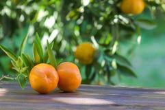 Frische reife Tangerinen Stockfotos