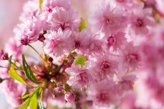 Frische rosa Blumen von Kirschblüte-Baum, Makrobild Lizenzfreies Stockbild