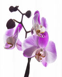 Frische rosa Orchidee Stockbild