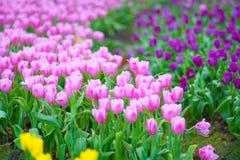 Frische rosa Tulpen lizenzfreies stockbild