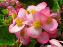 Frische rosafarbene Blumen Lizenzfreie Stockfotos