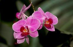 Frische rosafarbene Orchidee Stockbild