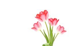 Frische rosafarbene Tulpen Lizenzfreies Stockbild