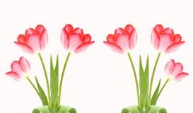 Frische rosafarbene Tulpen trennten Weiß Stockbilder