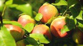 Frische rote Äpfel auf einer Niederlassung im Garten stock video footage
