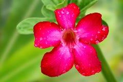 Frische rote Adeniumblume mit Regen fällt auf Blumenblätter Lizenzfreies Stockfoto
