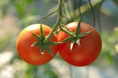 Frische rote Tomaten der Nahaufnahme Lizenzfreie Stockfotos