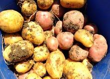 Frische rote und gelbe Kartoffeln Stockbilder