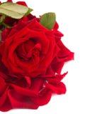 Frische Rotrose mit Blumenblattgrenze Stockfotografie