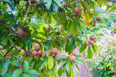 Frische süße Sapotillbaumfrucht mit Blättern auf Baum Stockfotos