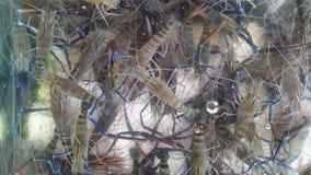 Frische Süßwassergarnelen für Verkauf im Behälter des Restaurants stock footage