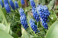 Frische schöne Blumen des Glockenblumefrühlinges lizenzfreie stockfotos