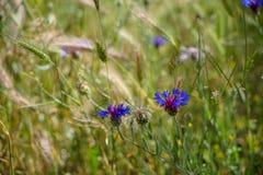 Frische schöne violette und purpurrote wilde Blume unter weichem Licht verwischte grünen Blattrasenflächehintergrund am Sonnensch stockfotos