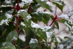 Frische Schneeflocken auf grünen Blättern eines portugiesischen Lorbeerbusches lizenzfreie stockbilder