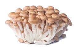 Frische Shimichi-Pilze Lizenzfreie Stockbilder