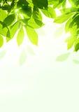 Frische Sommer-Blätter Stockbild