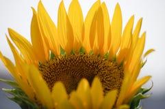 Frische Sonnenblume auf dem Gebiet Stockfotos