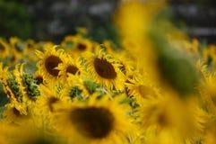 Frische Sonnenblume auf dem Gebiet Lizenzfreie Stockbilder