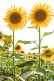 Frische Sonnenblume auf dem Gebiet Stockbild
