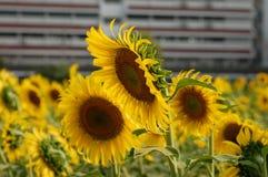 Frische Sonnenblume auf dem Gebiet Lizenzfreies Stockfoto