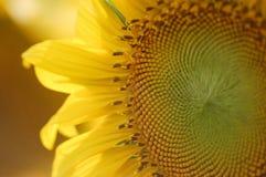 Frische Sonnenblume auf dem Gebiet Stockfoto