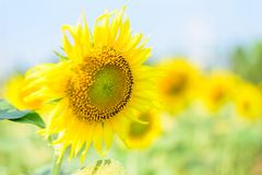 Frische Sonnenblume mit blauem Himmel stockfoto