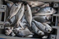 Frische Sparus-aurata Fische in einem Kasten Stockfotografie