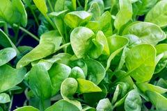 Frische Spinatsblätter, biologisches Lebensmittel stockfotografie