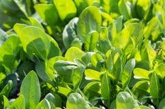 Frische Spinatsblätter, biologisches Lebensmittel stockbilder