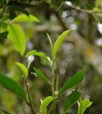 Frische Teeblätter Stockfotos