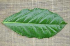 Frische Teeblätter auf dem hölzernen Hintergrund, lokalisiert Lizenzfreie Stockfotos