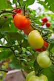 Frische Tomaten auf Zweig Stockfotos