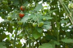 Frische Tomaten des Gartens auf einer Niederlassung Lizenzfreie Stockfotografie