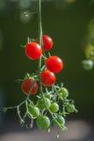 Frische Tomaten, die im Gewächshaus wachsen Lizenzfreie Stockfotografie