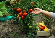 Frische Tomatenpflanze stockbild