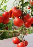 Frische Tomatenpflanzen lizenzfreies stockfoto