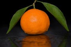 Frische tropische Mandarine auf einem Zweig mit grünen Blättern und Tautropfen lizenzfreie stockfotos