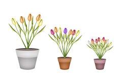 Frische Tulip Flowers in drei Terrakotta-Töpfen Lizenzfreie Stockfotografie